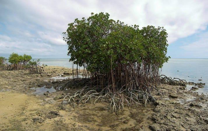 درخت حرا
