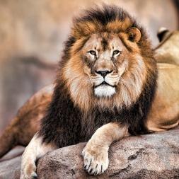 عکس شیر، پادشاه حیوانات با توجه به انواع نژاد این حیوان