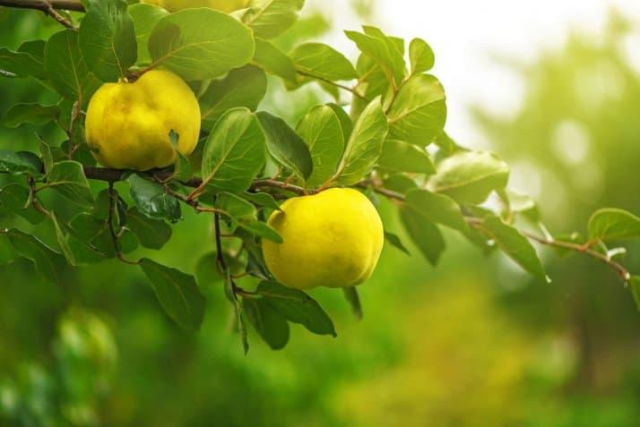 درخت میوه به