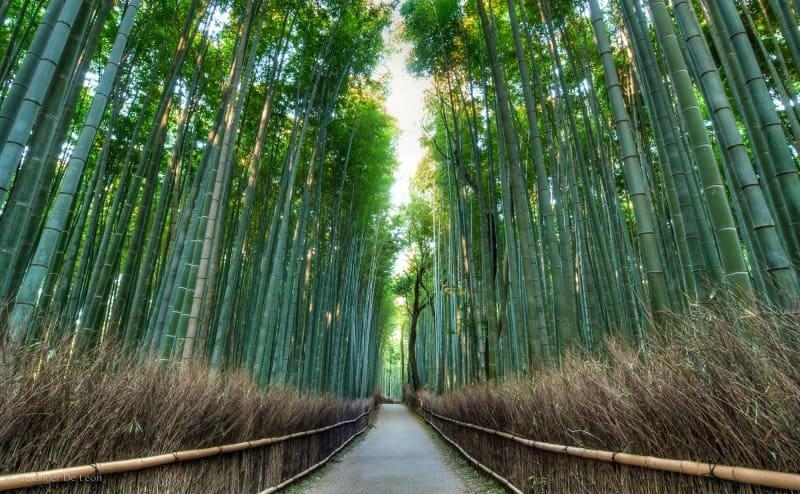 جنگل بامبو آراشیاما در ژاپن یکی دیگر از زیباترین مکان های جهان